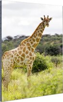 Giraf in de natuur Aluminium 60x90 cm - Foto print op Aluminium (metaal wanddecoratie)