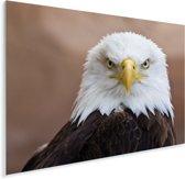Amerikaanse zeearend kijkt recht in de camera Plexiglas 80x60 cm - Foto print op Glas (Plexiglas wanddecoratie)