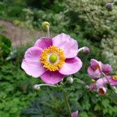 6 x Anemone tomentosa 'Robustissima' - Anemoon pot 9x9 cm