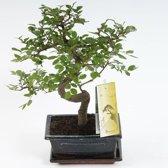 Bonsai Zelkova S-vorm 15 cm, Pot Ø 15 CM