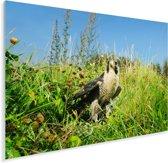 Een slechtvalk in een grasrijk gebied Plexiglas 160x120 cm - Foto print op Glas (Plexiglas wanddecoratie) XXL / Groot formaat!