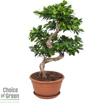 Choice of Green  - 1 Ficus Ginseng Bonsai -  Kamerplant in Kwekers Pot ⌀27 cm  -  Hoogte ↕70 cm