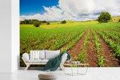 Fotobehang vinyl - Een veld met suikermais in de grond breedte 330 cm x hoogte 220 cm - Foto print op behang (in 7 formaten beschikbaar)