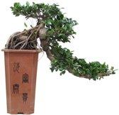 Bonsai Ficus Cascade 80 cm, 26 CM potdiameter