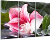 Glasschilderij Bloem | Roze, Wit, Groen | 120x80cm 3Luik | Foto print op Glas |  F004048