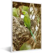 Foto in lijst - De prachtige groene vacht van een grote alexanderparkiet die op een tak zit fotolijst wit 40x60 cm - Poster in lijst (Wanddecoratie woonkamer / slaapkamer)