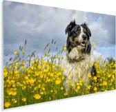 Border Collie tussen de mooie gele bloemen Plexiglas 180x120 cm - Foto print op Glas (Plexiglas wanddecoratie) XXL / Groot formaat!