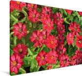 Heldere rode zinnia bloemen Canvas 120x80 cm - Foto print op Canvas schilderij (Wanddecoratie woonkamer / slaapkamer)