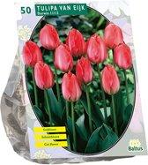 Tulipa (Tulpen) bloembollen -  van Eijk - 50 stuks