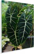 Prachtige en uitzonderlijke bladeren van de alocasia Plexiglas 120x180 cm - Foto print op Glas (Plexiglas wanddecoratie) XXL / Groot formaat!