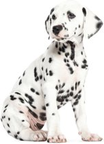 Kek Amsterdam KEK Muursticker dalmatiër puppy