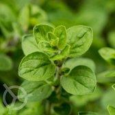 Oregano (Wilde Marjolein) 1000 zaden biologisch (Origanum vulgare) 0.1 g