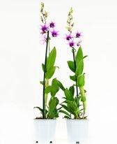Orchideeën van Botanicly | 2 × Bamboe orchidee paars-wit | Hoogte: 55 cm  | Dendrobium Sa-Nook