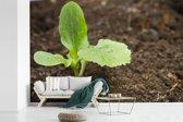 Fotobehang vinyl - Een net ingezaaide courgetteplant in de grond breedte 600 cm x hoogte 400 cm - Foto print op behang (in 7 formaten beschikbaar)