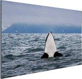 FotoCadeau.nl - Orka boven water Aluminium 120x80 cm - Foto print op Aluminium (metaal wanddecoratie)