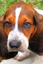 Huggable Bassett Hound Puppy Dog Journal