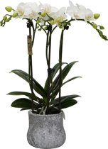 Mini orchidee in Moon pot - Little Kolibri Orchids®