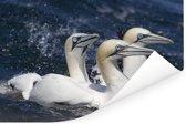 Drie zwemmende jan-van-genten Poster 120x80 cm - Foto print op Poster (wanddecoratie woonkamer / slaapkamer)