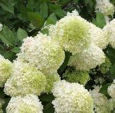 4 x Hydrangea Paniculata 'Limelight' - Pluimhortensia in C2.5 pot 20-40cm (stukprijs € 9,25)