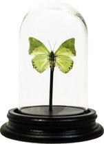 Opgezette vlinder in glazen stolp - Charaxes subornatus