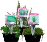 Waterworld Waterzuiverende Zuurstofplanten Pakket - Ca. 2m³ Water - 12 Waterplanten + 3 Oppot Sets (Vijvermandje, Klei, Grind & Voeding)