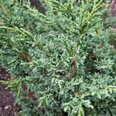 Juniperus Chinensis 'Blaauw' - Jeneverbes 20-25 cm in pot