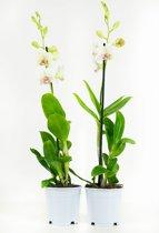 Orchideeën van Botanicly | 2 × Bamboe orchidee wit-paars | Hoogte: 55 cm  | Dendrobium Sa-Nook