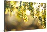 Close up van gele acacia bloemen in zonlicht Aluminium 90x60 cm - Foto print op Aluminium (metaal wanddecoratie)