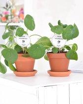 Pannenkoekenplant Pilea Peperomioides - 3 stuks