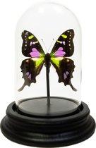 Opgezette vlinder in glazen stolp - Graphium weiskei