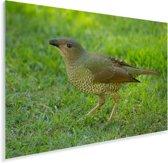 Grijsnekprieelvogel op het gras Plexiglas 90x60 cm - Foto print op Glas (Plexiglas wanddecoratie)