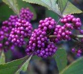 Callicarpa Bodinieri 'Profusion' - Schoonvrucht 40-60 cm in pot