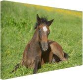 Connemara veulen in weiland Canvas 60x40 cm - Foto print op Canvas schilderij (Wanddecoratie woonkamer / slaapkamer) / Dieren Canvas Schilderij