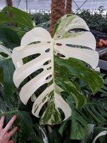 Bonte Monstera Variegata 27cm Kwekers pot Ca. 75cm hoog Zeldzame plant