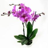 Set van 2 roze orchideeën - 60 cm - 3 takken