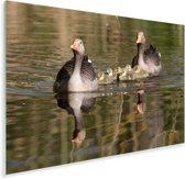 Zwemmende grauwe ganzen in het water Plexiglas 90x60 cm - Foto print op Glas (Plexiglas wanddecoratie)