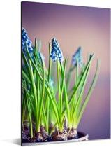 Bloemen van een druifhyacint met een kleurrijke achtergrond Aluminium 40x60 cm - Foto print op Aluminium (metaal wanddecoratie)