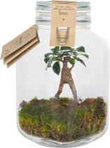 Kamerplant van Botanicly – Closed Jar 3L Medium Size - Ficus Ginseng – Hoogte: 25 cm