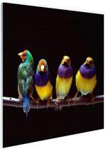 FotoCadeau.nl - Papegaaien op stok Glas 180x120 cm - Foto print op Glas (Plexiglas wanddecoratie)