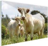 Witte koeien in het veld Glas 30x20 cm - klein - Foto print op Glas (Plexiglas wanddecoratie)