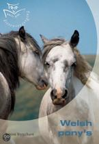 Welsh pony's