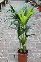 Howea forsteriana - Kentia Palm - Luchtzuiverend - Kamerplant - Huis of Kantoor Plant - 135 cm