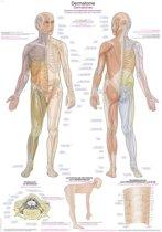 Het menselijk lichaam - anatomie poster dermatomen (Duits/Engels/Latijn, kunststof-folie, 70x100 cm)