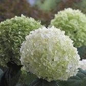 12 x Hydrangea arborescens 'Incrediball' Strong Annabelle