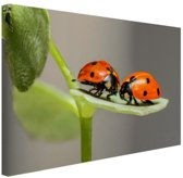 Twee lieveheersbeestjes op blad Canvas 60x40 cm - Foto print op Canvas schilderij (Wanddecoratie woonkamer / slaapkamer) / Dieren Canvas Schilderijen
