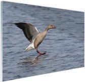 FotoCadeau.nl - Grijze gans in het water Glas 180x120 cm - Foto print op Glas (Plexiglas wanddecoratie)