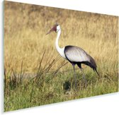 Een lelkraanvogel tussen het hoge gras Plexiglas 180x120 cm - Foto print op Glas (Plexiglas wanddecoratie) XXL / Groot formaat!