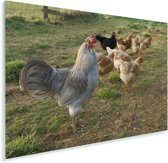 Haan tussen de kippen in het gras Plexiglas 30x20 cm - klein - Foto print op Glas (Plexiglas wanddecoratie)