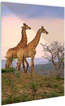 Giraffes fotoafdruk Glas 20x30 cm - Foto print op Glas (Plexiglas wanddecoratie)