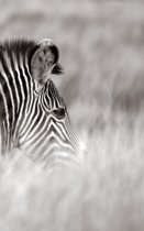 Alive! zebra stripes - Black and white - Photo Art Notebooks (5 x 8 series)